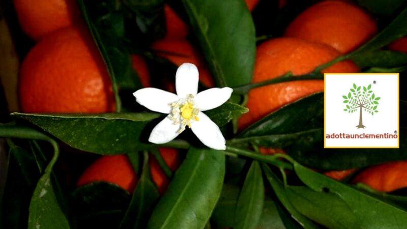 Un Clementino per i bambini di Amatrice e Cittareale: ecco come adottare una pianta per fare beneficienza