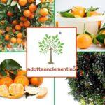Adotta un Clementino: la proposta green dell'azienda calabrese di Corigliano Rossano