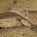 Queimada Grande: l'isola dei serpenti in Brasile, patria del velenosissimo ferro di lancia dorato