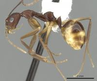 Dolichoderus imitator