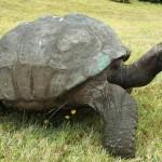 Jonathan, la tartaruga gigante delle Seychelles: probabilmente l'animale più vecchio della Terra