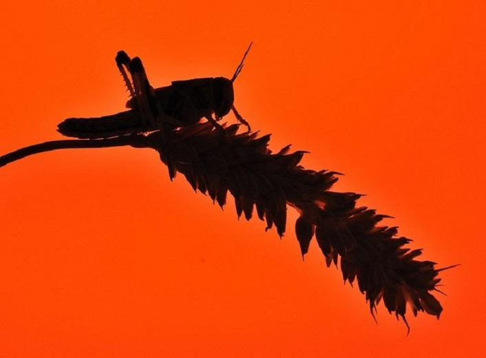 """""""Locusta"""" di Alessandro Erato"""