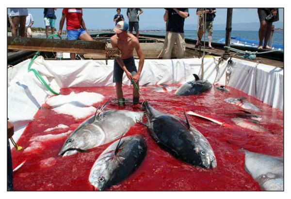 """""""Tonnara di San Cusumano"""": l'ultima mattanza di tonni è stata nel 2003 ad Erice"""
