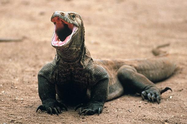 Il Drago di Komodo: la lucertola più grande al mondo in Indonesia