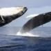 Esercitazioni della marina americana con i sonar: sarà strage di balene