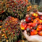 L'olio di palma: grassi saturi e deforestazione selvaggia della foresta pluviale asiatica