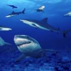Natura: gli squali posseggono sette sensi, due in più dell'uomo