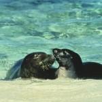 La foca monaca torna in Sicilia: protagoniste le isole Egadi