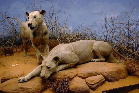 I mangiatori di uomini: i due leoni di Tsavo in Kenya e lo squalo del New Jersey