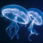 Allarme meduse nei mari italiani: non consolano molto i nuovi gel preventivi antimedusa