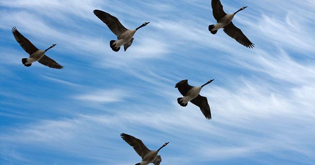 Mattanza delle oche nell'aeroporto di Amsterdan: 10.000 esemplari in pericolo