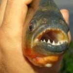 Caldo anomalo in Argentina e i piranha attaccano i bagnanti nel giorno di Natale