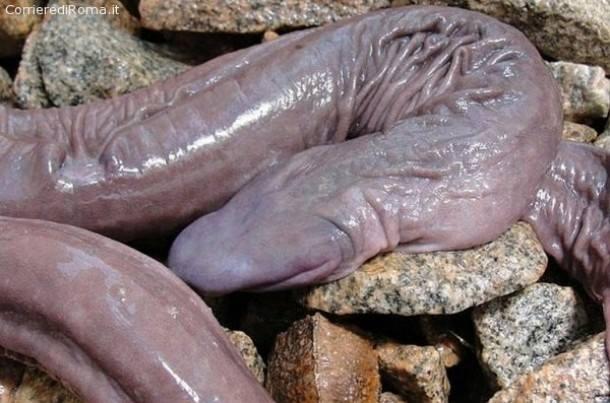 Scoperto in Amazzonia un nuovo esemplare di anfibio somigliante ad un organo genitale maschile