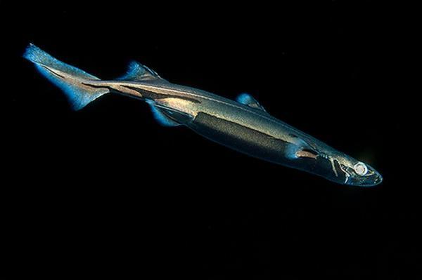 Mimetismo: squali invisibili negli abissi tra  Giappone, Cina Meridionale e Taiwan