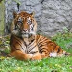 Bracconieri uccidono cucciolo di tigre di Sumatra: la madre chiede vendetta