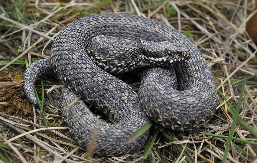 La vipera: unico serpente velenoso presente in Italia